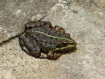 Rana verde ibérica