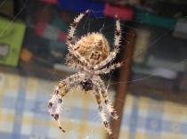 Araña de cuatro manchas