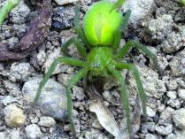 Araña de los prados