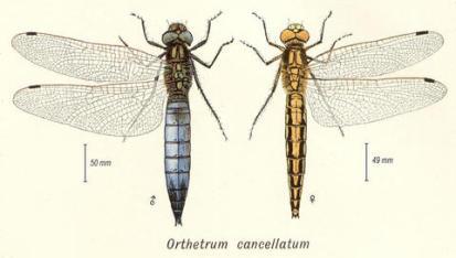 Orthetrum cancellatum (macho y hembra)