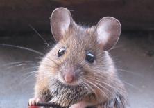 Ratón de campo (Apodemus sylvaticus)