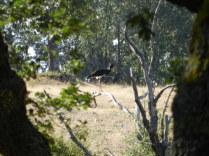 Cigüeña negra (Ciconia nigra)
