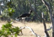 Cigüeña negra