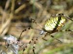 Araña tigre o Argíope