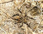 Araña lobo (Tarántula)