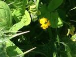 Alfalfa de secano