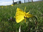 Narciso silvestre
