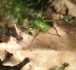Araña de los prados (Micrommata virescens)