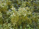 Flor de Quercus ilex