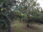 Fruto de Quercus ilex