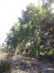 Fresno (Fraxinus angustifolia)