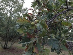 fruto de roble melojo (Quercus pyrenaica)