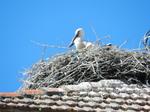 Cigüeña blanca (Ciconia ciconia) ejemplar joven