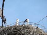 Cigüeña blanca (Ciconia ciconia) ejemplars jovenes