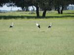Cigüeña blanca (Ciconia ciconia) adultos