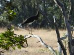 Cigüeña negra (Ciconia nigra) ejemplar joven