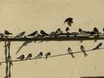 Golondrina común (Hirundo rustica) adultos en posadero