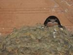 Golondrina común (Hirundo rustica) ejemplares jovenes en el nido