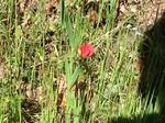 Flores de casafranca