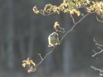 Herrerillo común (Cyanistes caeruleus)